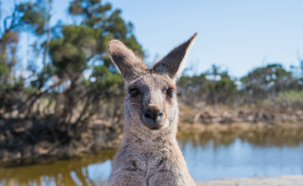 Kangroo looking right at the camera in Australia