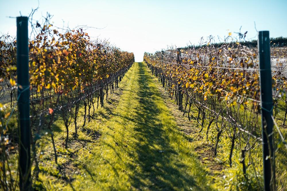 A vineyard on Waiheke Island off the coast of Auckland, New Zealand