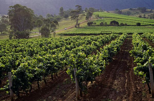 Vineyards in the Hunter Valley wine region outside of Sydney