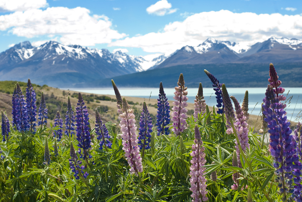 Spring Flowers next to Mount Cook and Lake Pukaki in New Zealand